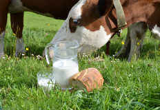 Milk and cows Stock Photography