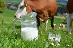 Milk and cows Stock Photo