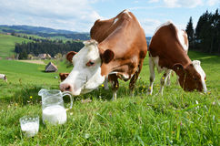Milk and cows. Emmental region, Switzerland royalty free stock photography