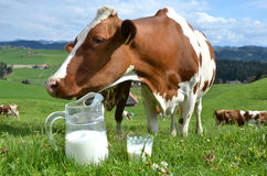 Milk and cows Royalty Free Stock Images