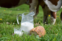 Milk and cows. Stock Photos
