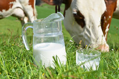 Milk and cows. Stock Photo