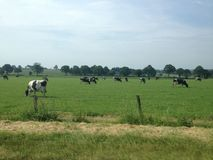 Milk cows grazing in a grassy field Royalty Free Stock Images