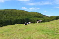 Milk Cows on an idyllic landscape. A pair of milk cows wedged between the vivid green of an Azorean island and the stunning blue of an Atlantic sky. Taken during Stock Images