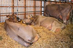 Milk cows lying in straw Stock Photo