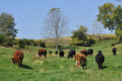 Milk Cows in Pasture. Milk cows grazing in a pasture stock image