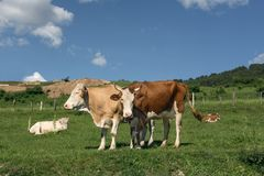 Milk cows on pastures. Milk cows on green pastures in summer Stock Image