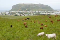 Milk Cows - Stanley - Tasmania Royalty Free Stock Images