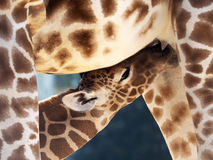 Milk drinking baby giraffe royalty free stock image