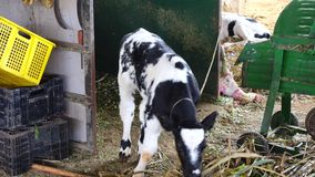 Milk farm at Don Duong district, Da Lat city, Lam Dong province, Vietnam stock video