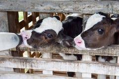 Milk feeding of a calf. Royalty Free Stock Photography