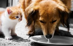 Cat and dog fight for milk Royalty Free Stock Photography