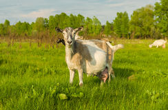 Milk goat Stock Photography