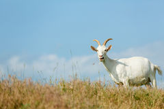 Milk goats feeding on a pasture Royalty Free Stock Images