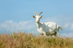 Milk goats feeding on a pasture Royalty Free Stock Photography