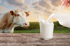 Milk from jug pouring into glass with splashes. On table with cow on the meadow in the background. Glass of milk. Closeup of cow muzzle look at the camera Stock Image
