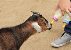 Milk Offering. A baby goat being offered 2 bottles of milk at feeding time Royalty Free Stock Images