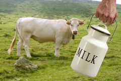 Milk pot farmer hand cow in meadow Stock Photos