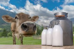 Milk production in farm. Cow in meadow and bottles with milk in foreground royalty free stock image