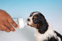Milk puppy Stock Photography