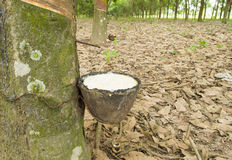 Milk of rubber tree into bowl Royalty Free Stock Image