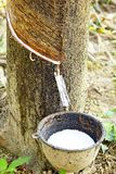 Milk of rubber tree into a bowl. Royalty Free Stock Photo