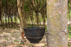Milk rubber tree Stock Photos