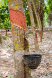 Milk rubber tree Stock Photography