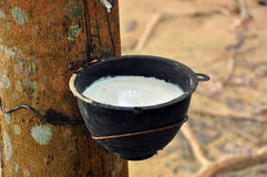 Milk of rubber tree. Flows into a bowl Stock Photo