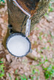Milk of rubber tree flows into a bowl . Stock Image