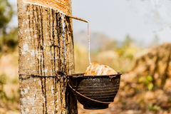 Milk of rubber tree flows into a wooden bowl. Stock Photography