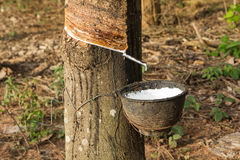 Milk of rubber tree flows into a wooden bowl Stock Photos
