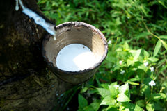 Milk of rubber tree Stock Photos