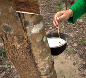 Milk of rubber tree. Rubber tree plantation milk of rubber tree Royalty Free Stock Image