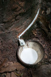 Milk of rubber tree and wooden bowl Royalty Free Stock Photo