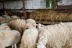 Milk sheep in a stable Stock Image