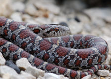 Milk Snake Royalty Free Stock Image