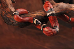 Milk snake on the  branch Royalty Free Stock Images