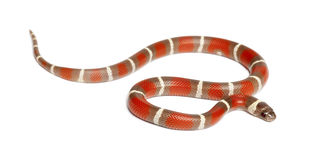 Milk Snake, Lampropeltis triangulum nelsoni Royalty Free Stock Photo