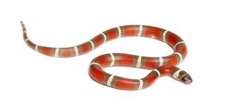 Milk Snake, Lampropeltis triangulum nelsoni Royalty Free Stock Photo