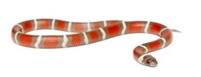 Milk Snake, Lampropeltis triangulum nelsoni Royalty Free Stock Photography