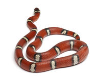 Milk snake or milksnake, Lampropeltis triangulum Stock Photo