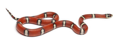 Milk snake or milksnake, Lampropeltis triangulum Stock Images