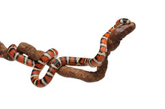 Milk snake with smooth and shiny scales Royalty Free Stock Photography