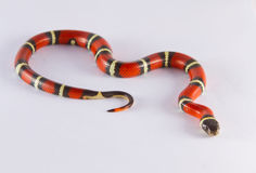 Milk Snake Stock Photography