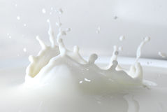 Milk splash. Close up of milk splash with some drops still coming down Royalty Free Stock Photo