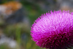 Milk thistle Royalty Free Stock Photos