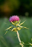 Milk Thistle Stock Images