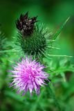Milk thistle Royalty Free Stock Image