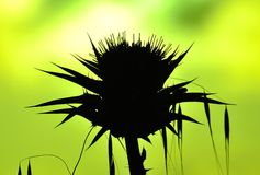 Milk thistle backlit and oats on greenish background Royalty Free Stock Photography